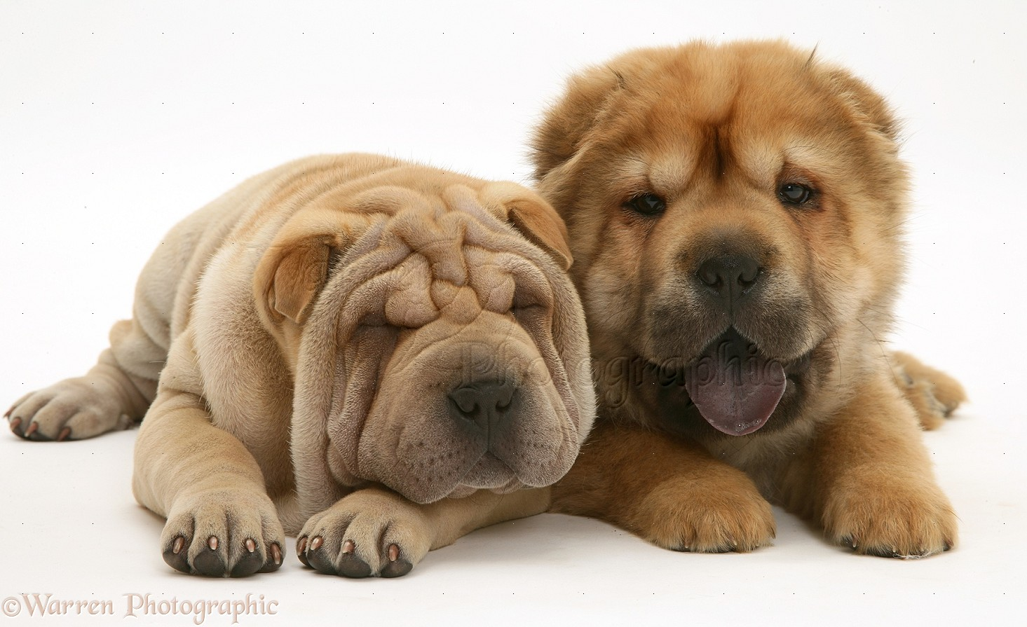 Dogs Shar Pei Pups Photo Wp21917