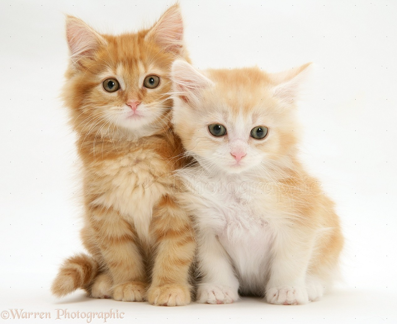 Ginger Maine Coon kittens photo WP21924 Tabby Maine Coon Kitten