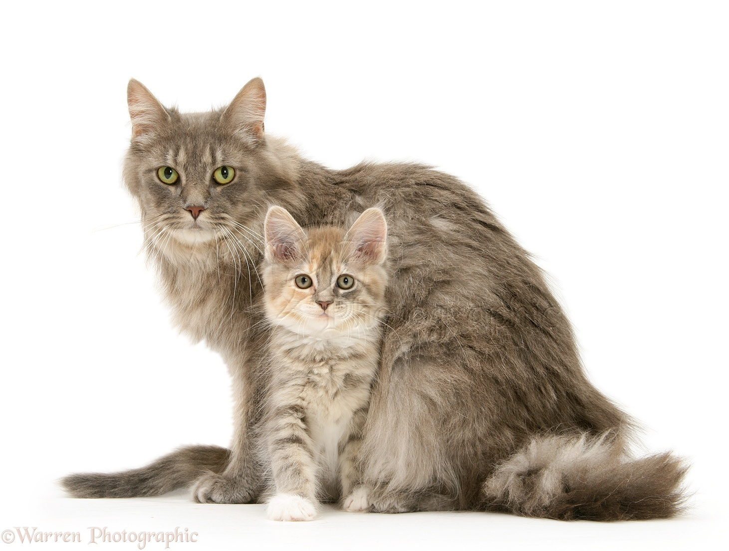 Maine Coon mother cat and kitten photo - WP21927 Tabby Maine Coon Kitten