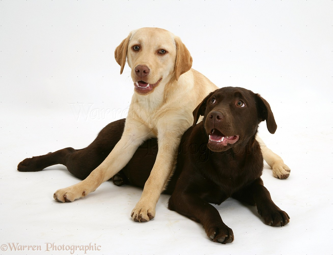 Dogs: Yellow and chocolate Labrador Retrievers photo - WP21937