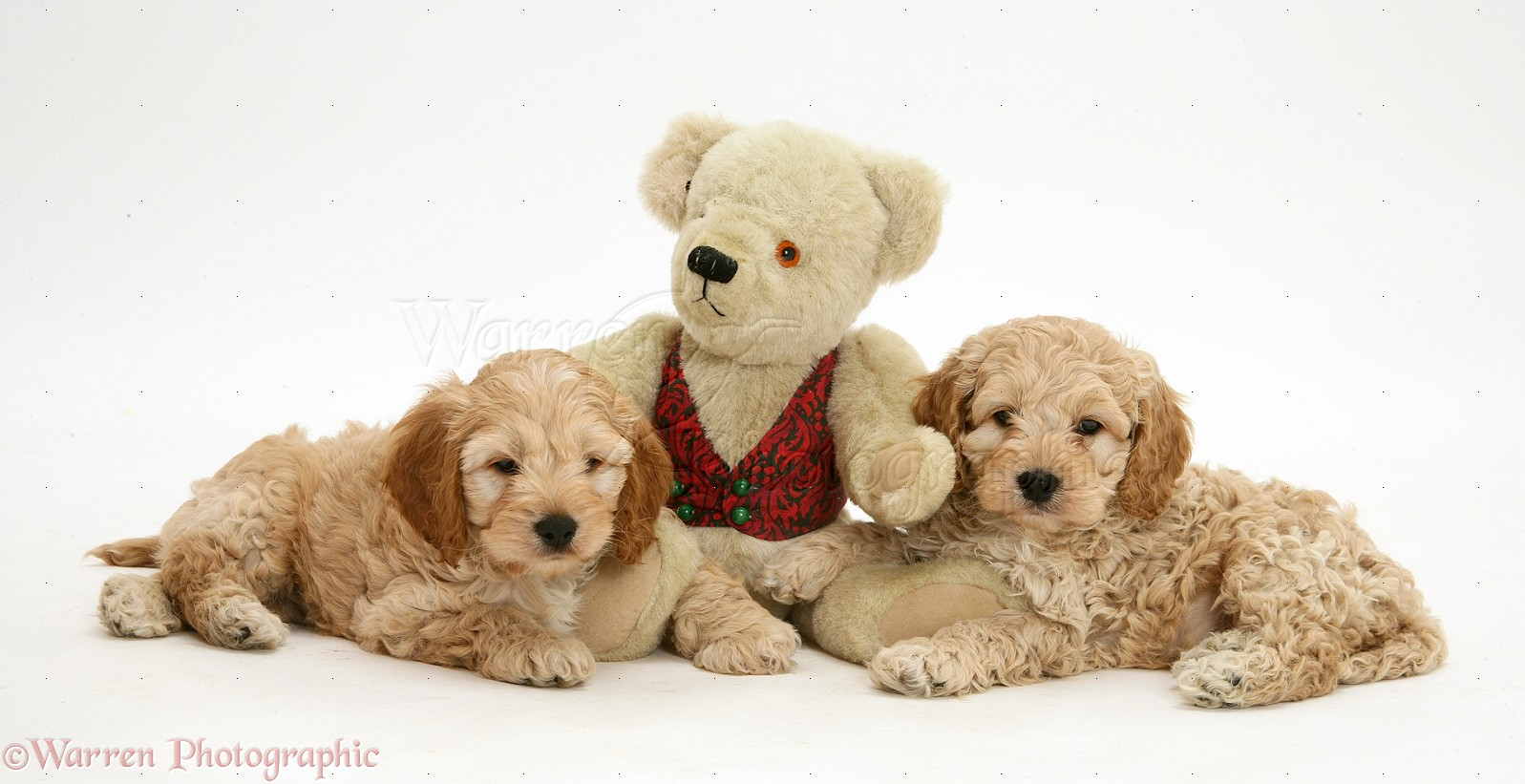 Dogs American Cockapoo Puppies With A Teddy Bear Photo Wp21939