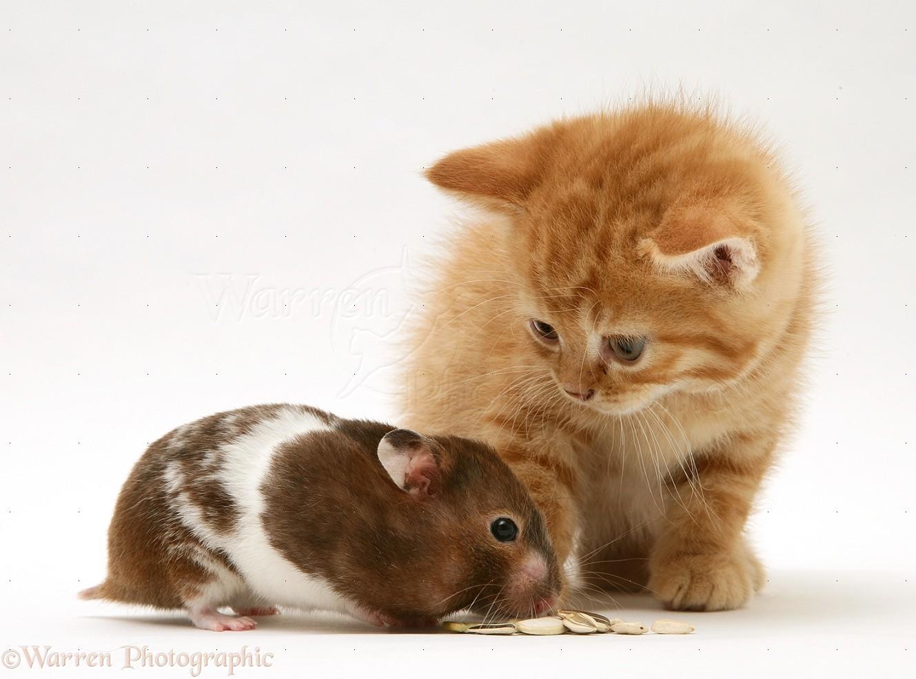 Ginger Kitten With Hamster Photo Wp21974
