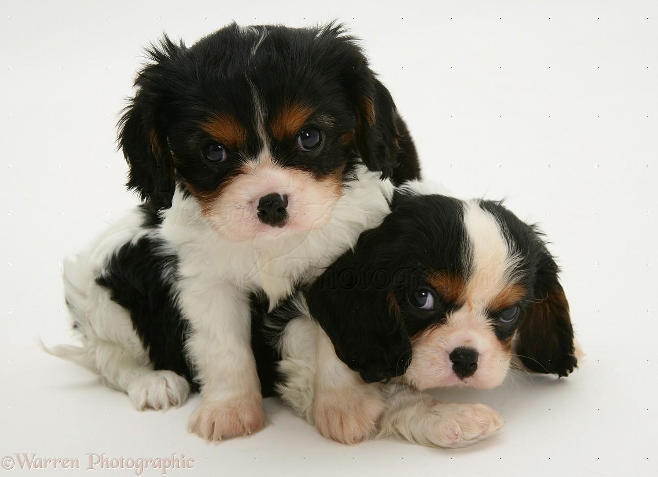 Cavalier Dog Black