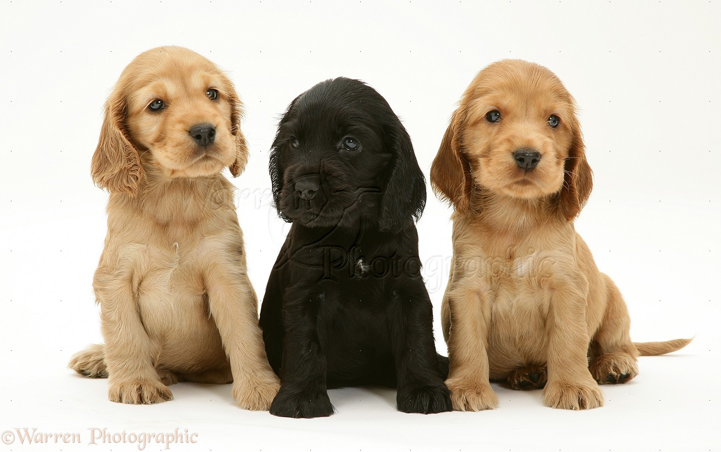 Dogs Black And Golden Cocker Spaniel Pups Photo Wp22055