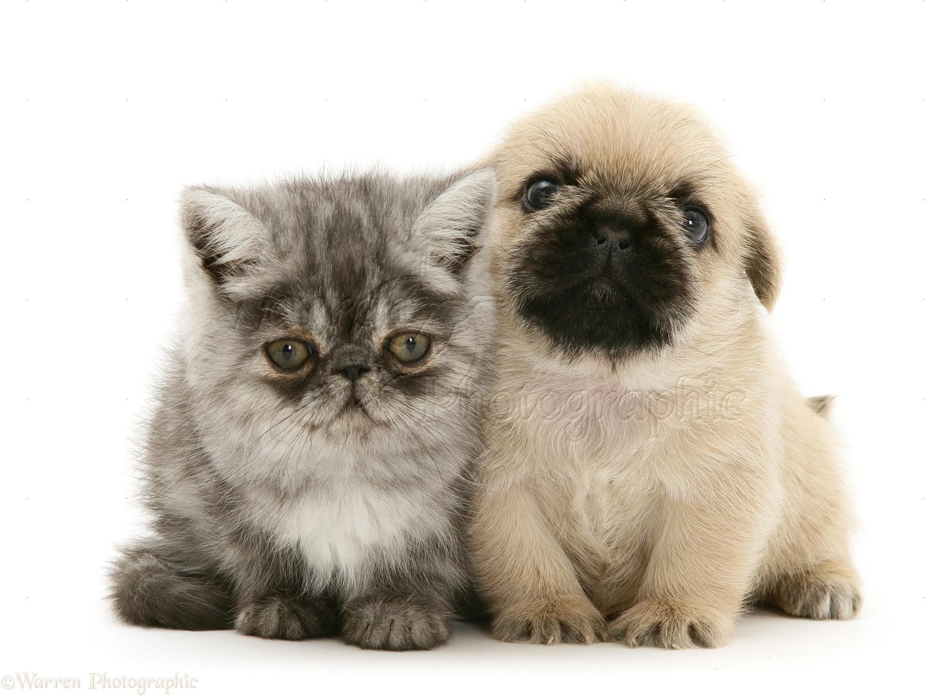 онлайн-блокнот мопсы и кошки картинки утонченный вкус
