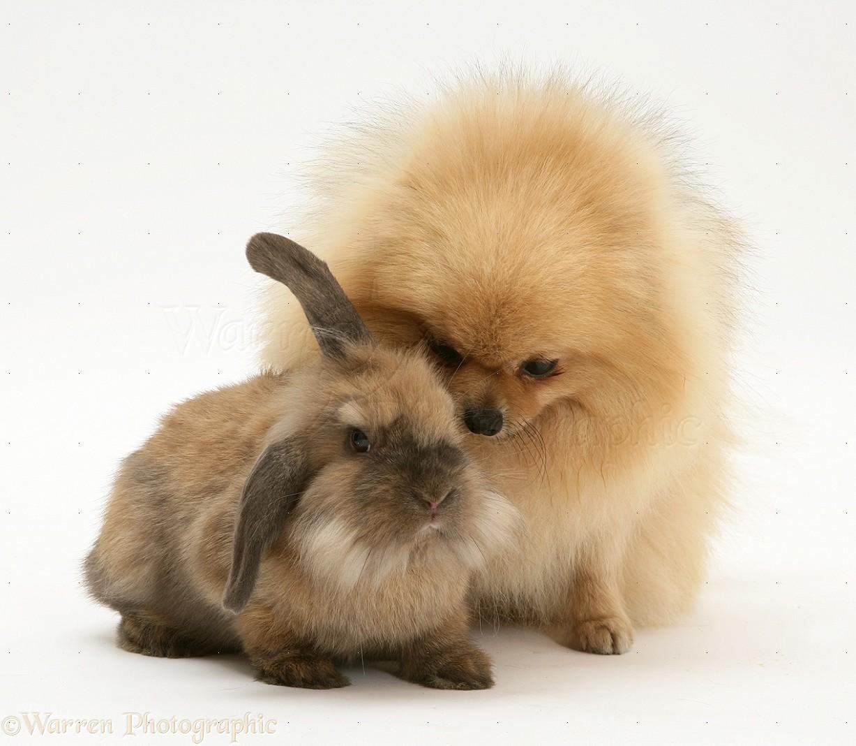 pets pomeranian and rabbit photo wp22083