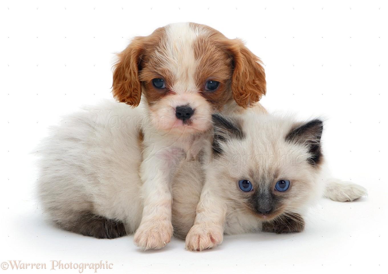 Pets King Charles pup with Ragdoll kitten photo WP