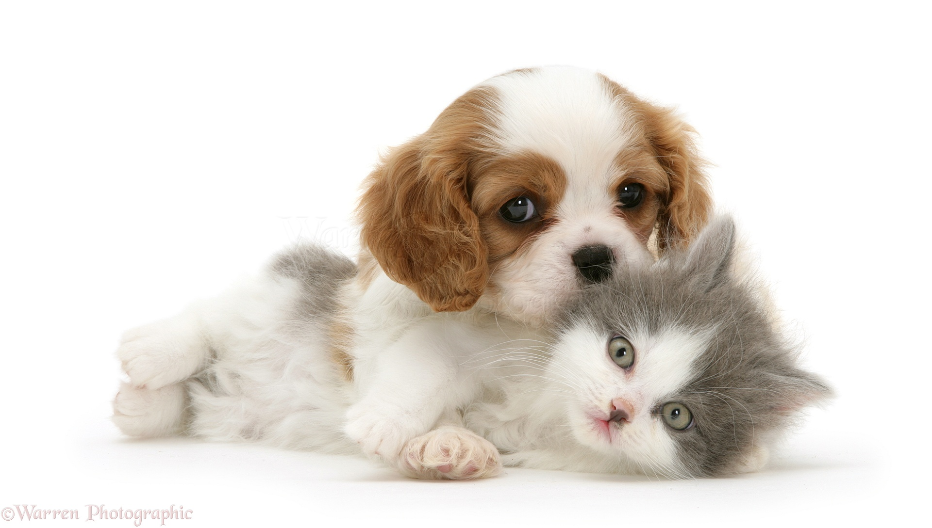 WP22095 Blenheim Cavalier King Charles Spaniel meets blue bicolour ...