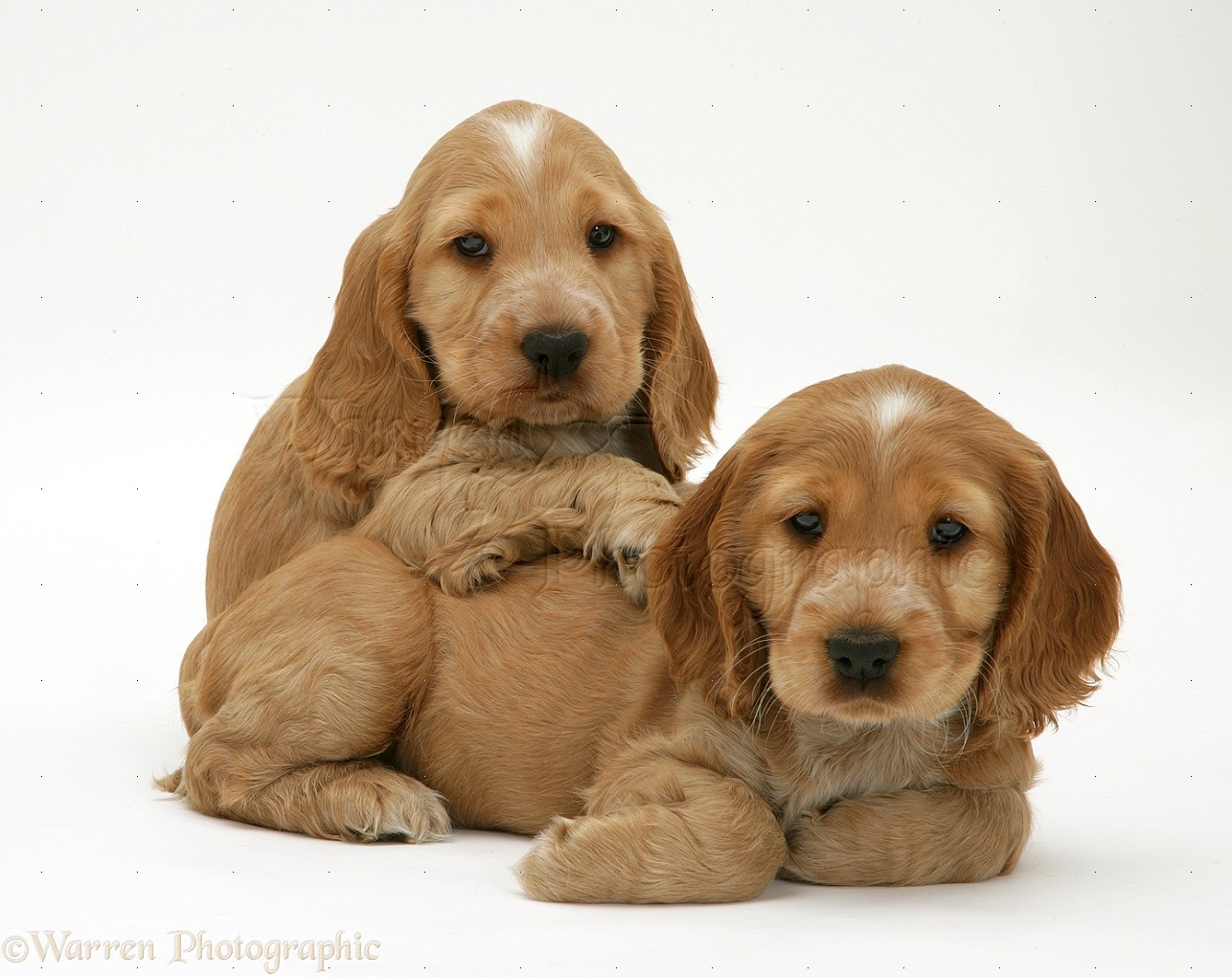 Golden Cocker Spaniel puppies photo - WP22100