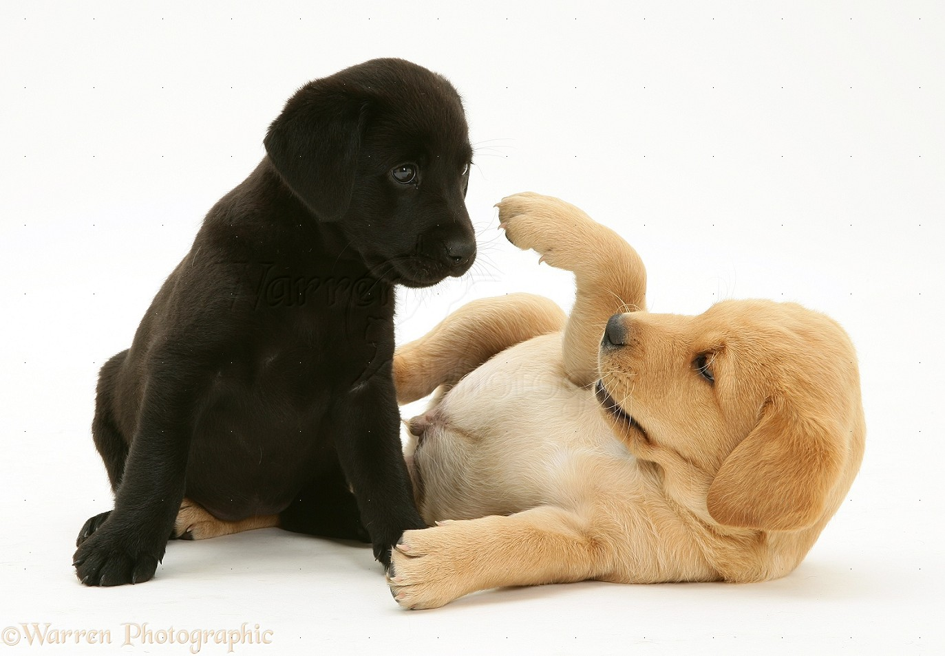 Dogs One Black And One Yellow Labrador Pups Playing Photo Wp22108