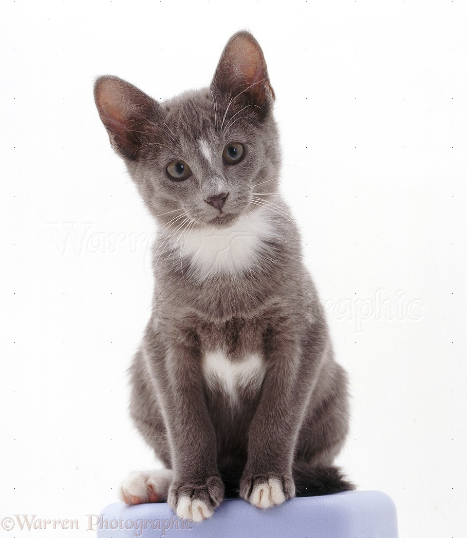 Gray And White Bedroom Furniture: Grey-and-white Tonkinese Kitten Photo WP22201