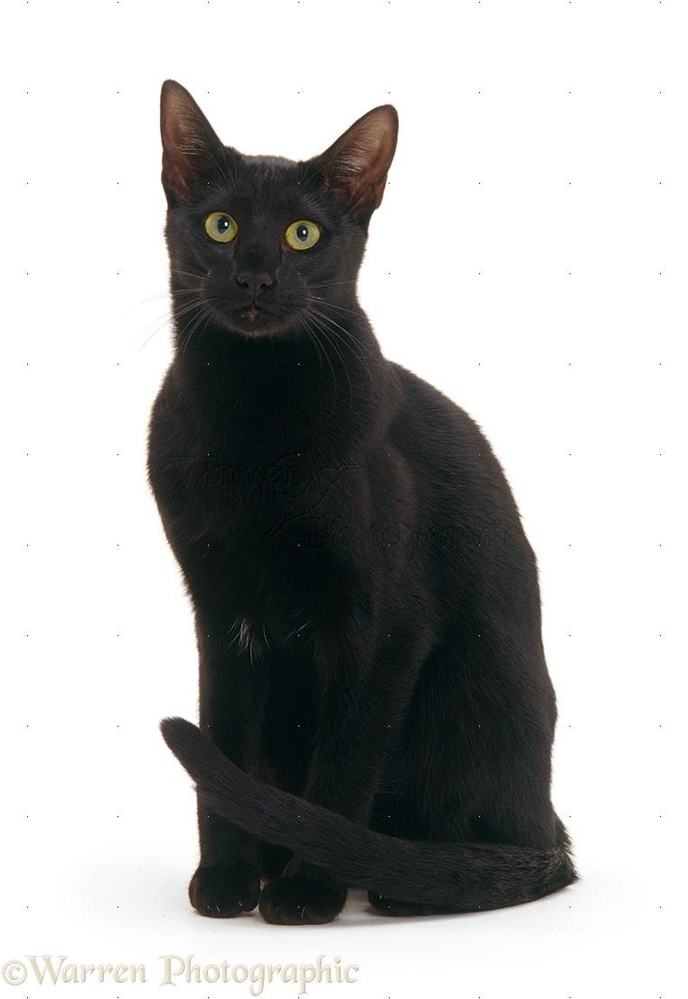 Cat Black On White