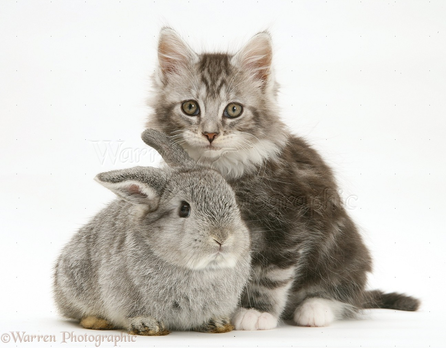 Tabby maine coon kitten