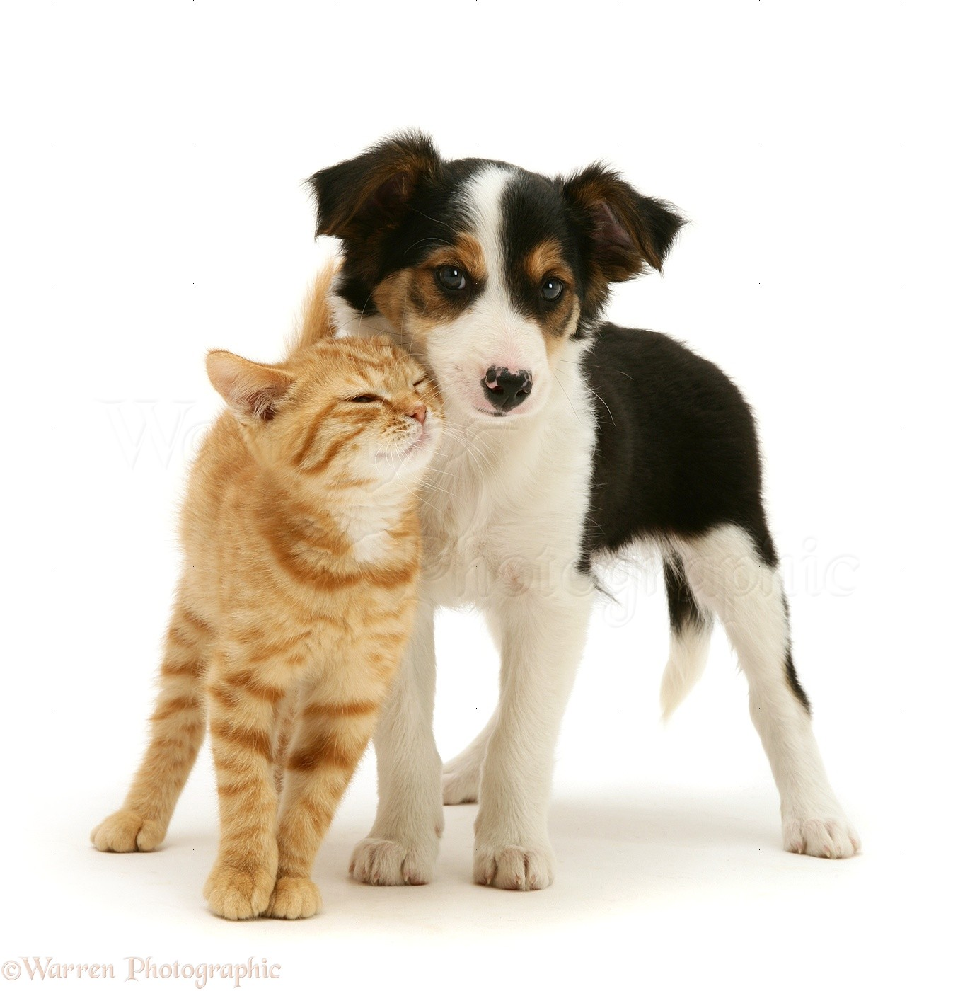 Pets Ginger Kitten And Border Collie Pup Photo Wp22405