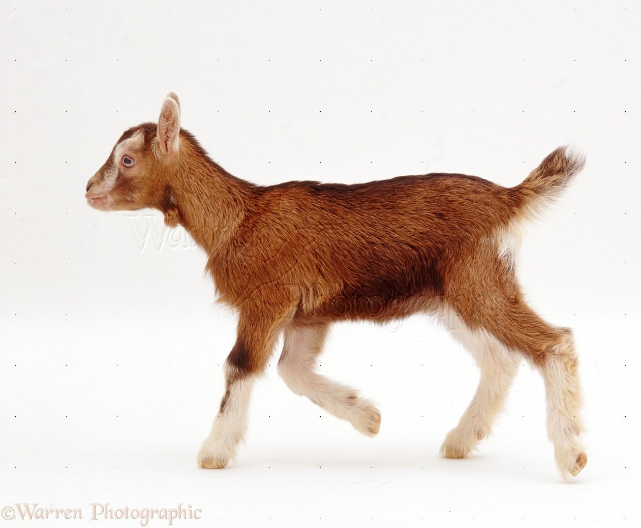 Pygmy X Toggenburg Goat Kid Photo Wp22428
