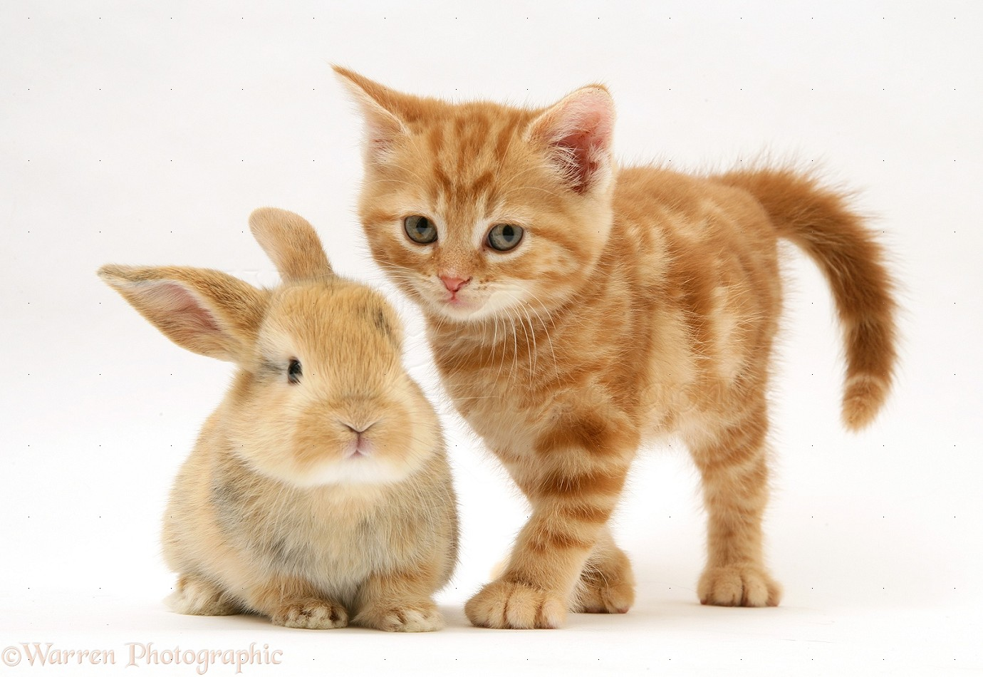 Pets Ginger kitten and baby fawn rabbit photo WP