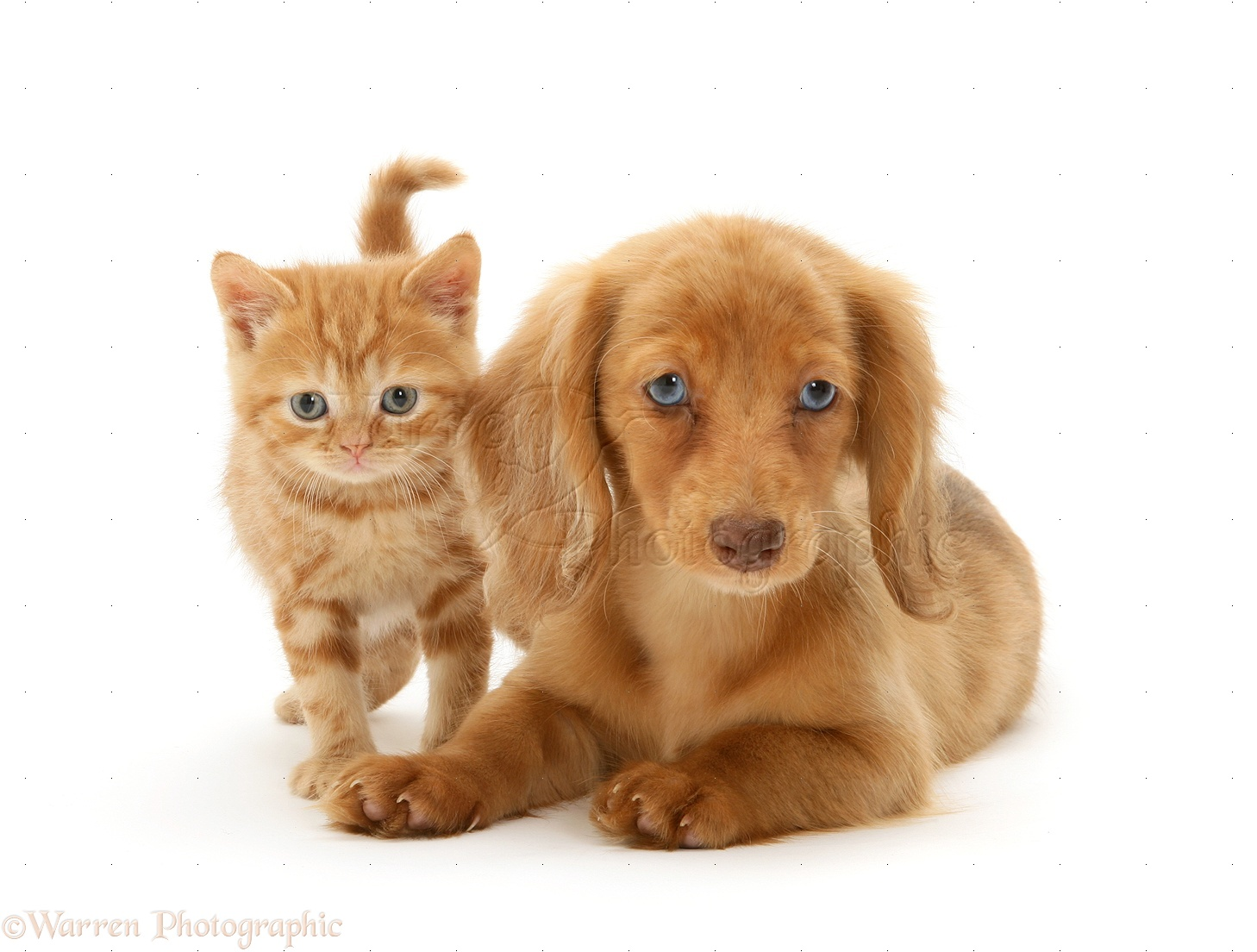 Pets Dachshund Pup And Ginger Kitten Photo Wp22474
