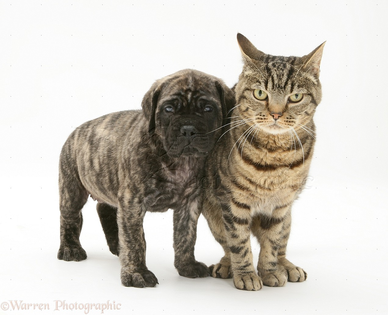 Pets: Brindle English Mastiff pup with tabby cat photo ...
