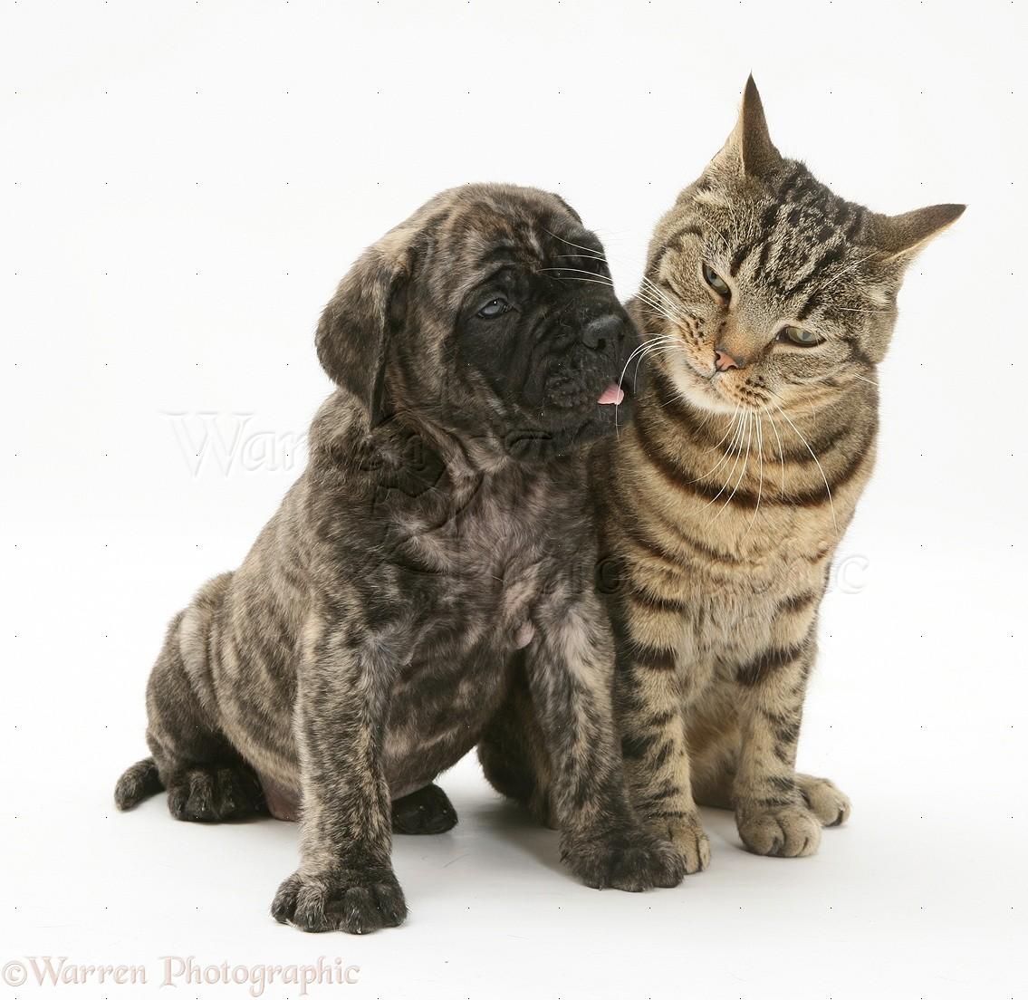Pets: Brindle English Mastiff pup with tabby cat photo - WP22481