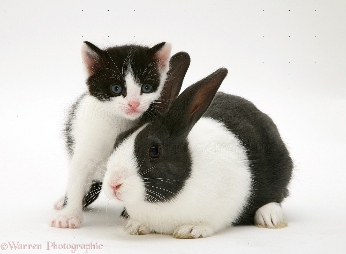 Pets Black And White Kitten With Blue Dutch Rabbit Photo