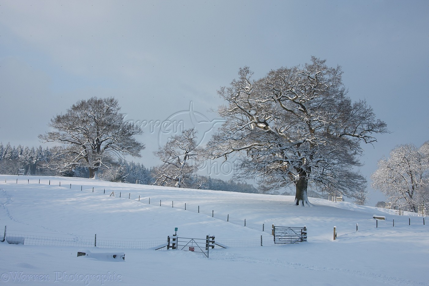 007e3ef8bfdae Oak trees with snow in Albury Park photo WP22653