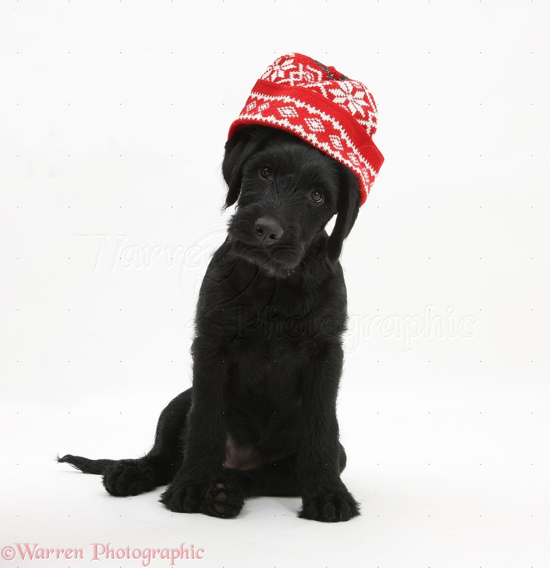 Dog  Black Labrador-cross pup with Christmas hat on photo WP22677 c99e710df6b