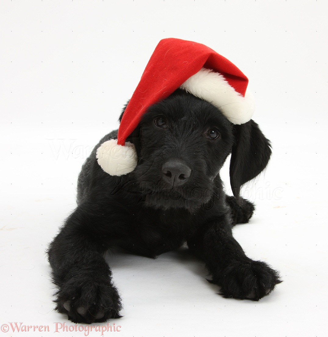 Portuguese water dog pup cassie with father christmas hat on