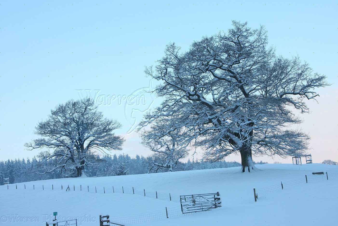 ffe8a19464d79 Oak trees with snow in Albury Park photo WP22691