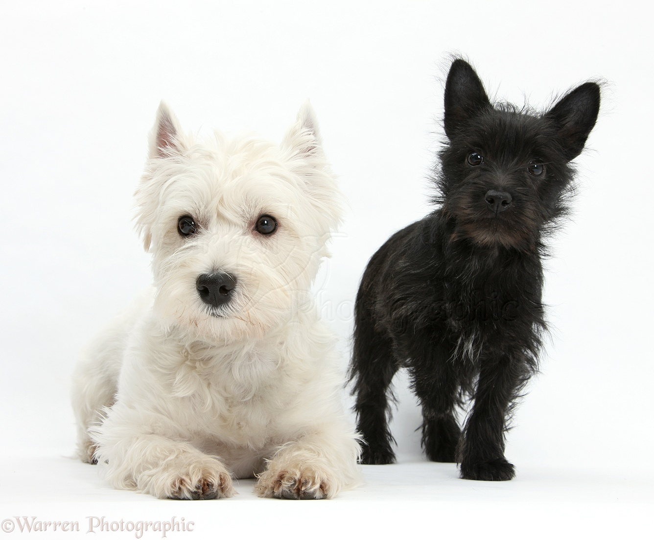 Dogs Westie And Black Terrier Cross Puppy Photo Wp22752