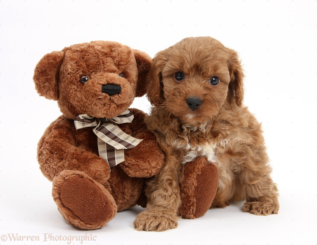 Image Result For Teddy Bear Dog Breed