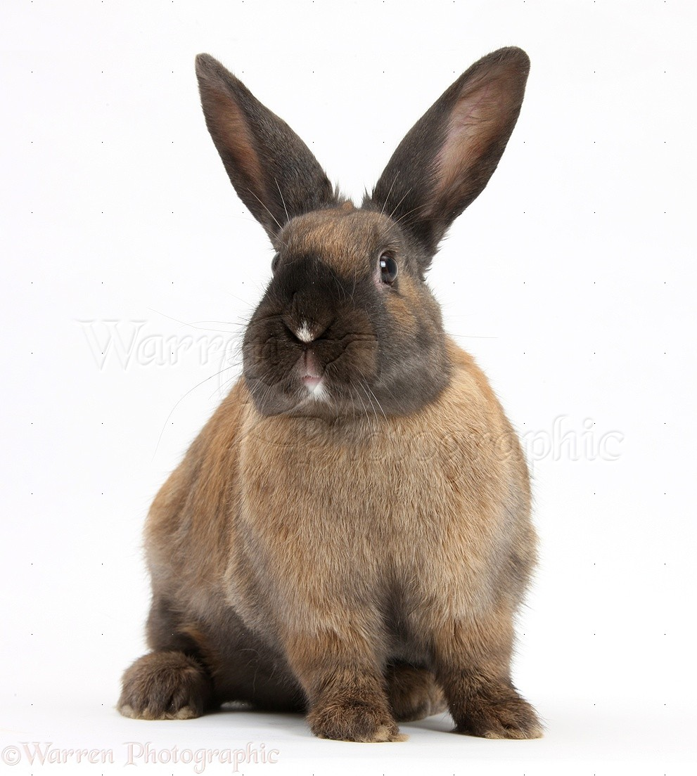 seal point rabbit photo   wp22801