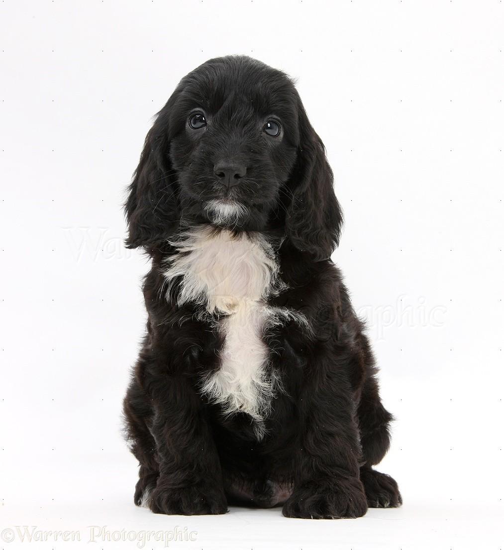 Dog english cockapoo pup 6 weeks old photo wp22845