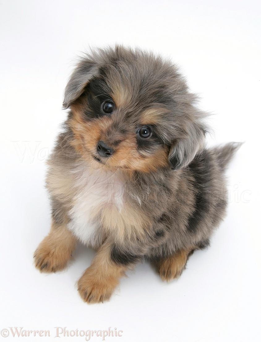 ... Puppy , German Shepherd Puppies , Miniature Sheltie Puppies For Sale