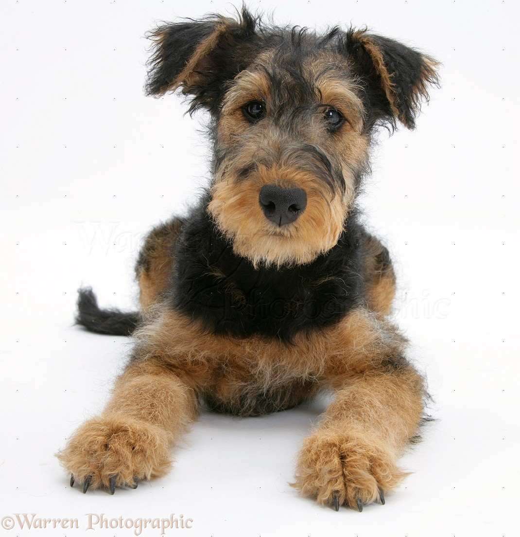 Airedale Dogs For Sale Uk