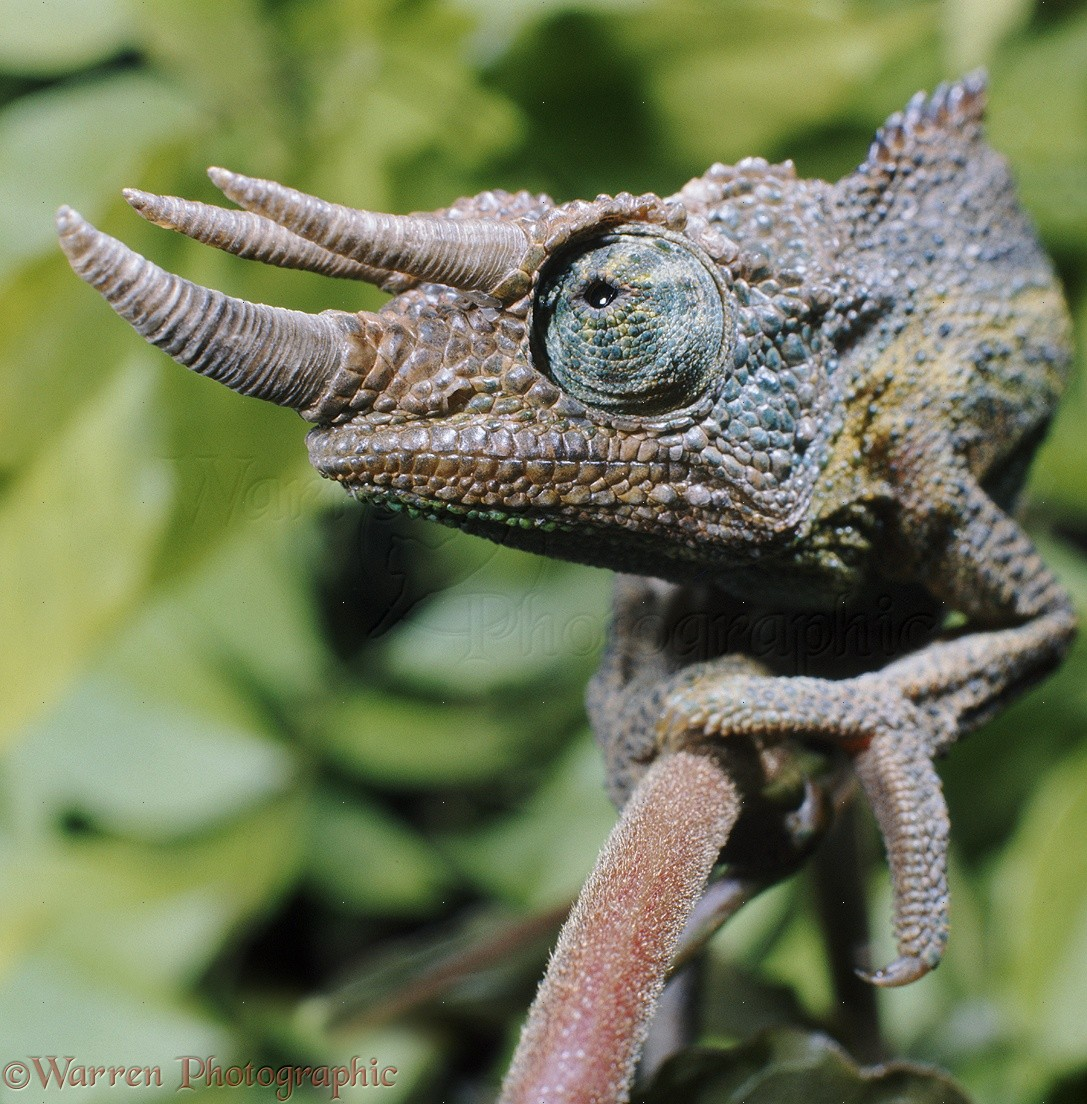 Male jackson chameleon - photo#24