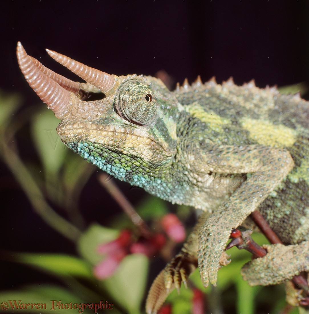 Male jackson chameleon - photo#22