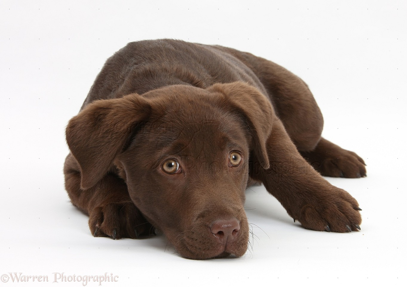 Dog: Chocolate Labrador pup, 3 months old photo - WP23070