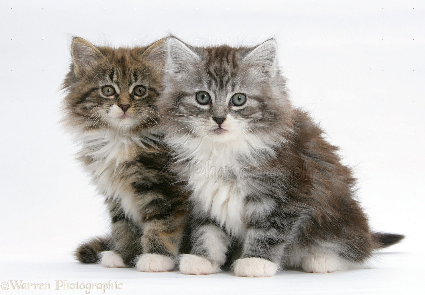 Maine Coon Kittens 8 Weeks Old Photo Wp23082