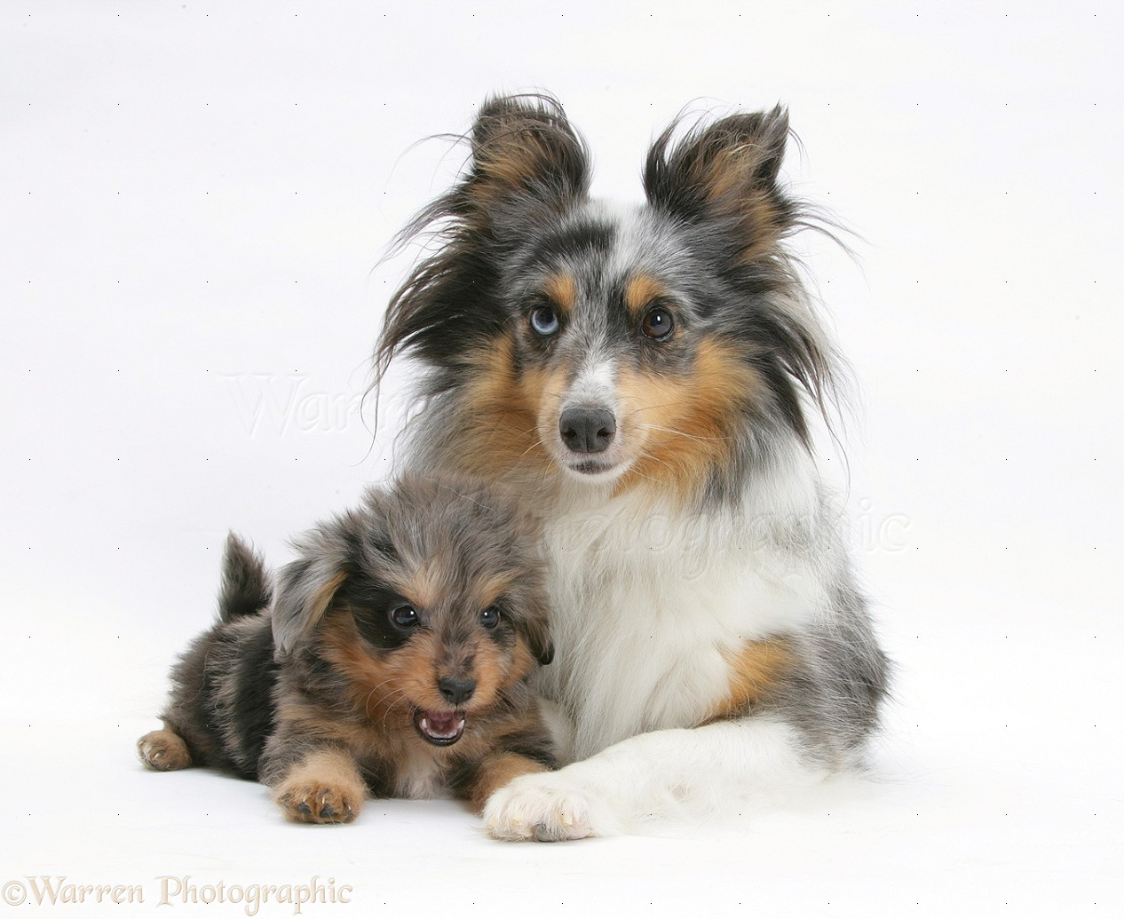 Dogs Sheltie And Sheltie X Poodle Pup Photo Wp23092
