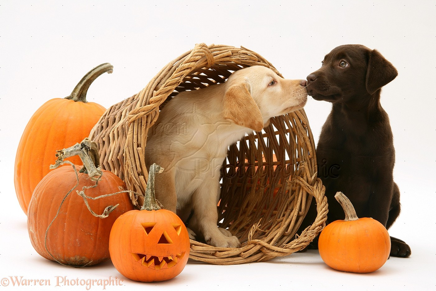 Dogs Yellow And Chocolate Retriever Pups At Halloween Photo Wp23095