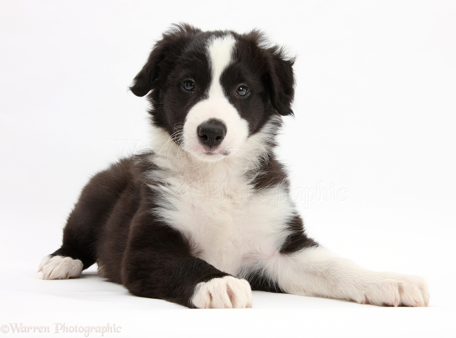 41602 Cute Playful Poochon Puppy 6 Weeks Old furthermore 23153 Black And White Border Collie Pup together with 13007 as well 39661 Bulldog Pup Lying Sprawled Out And Cant Be Bothered additionally 32266 Blue Belton English Setter Pup Wearing A Santa Hat. on dog portraits