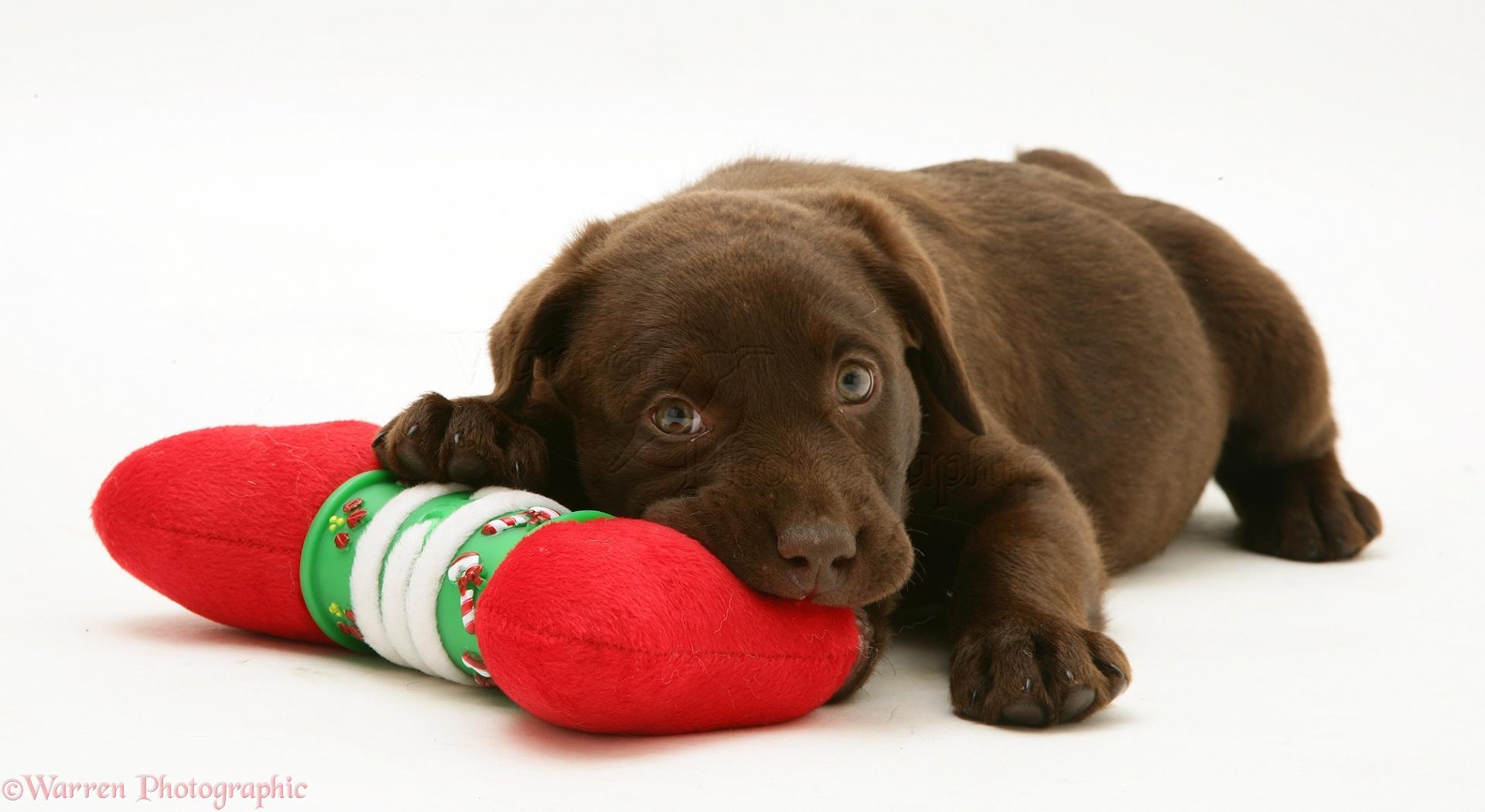 Dog Chocolate Labrador Retriever Pup Photo Wp23213