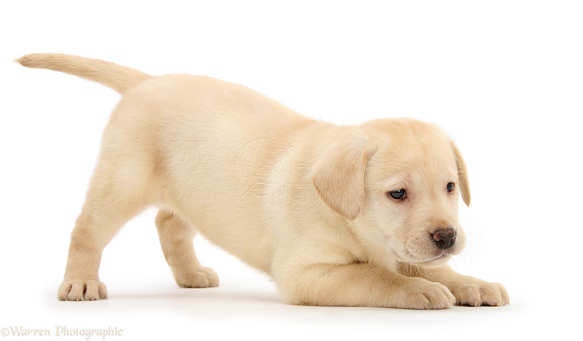 Dog: Yellow Labrador Retriever puppy, in play-bow photo WP23223
