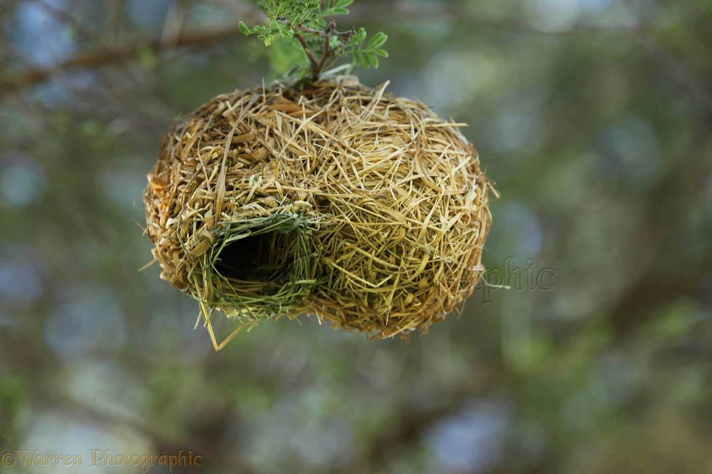 Weaver bird nest pictures - photo#24