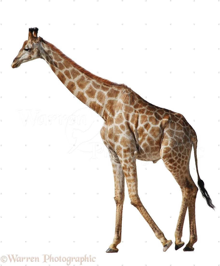 WP23362 Giraffe ( Giraffa camelopardalis ). Africa.