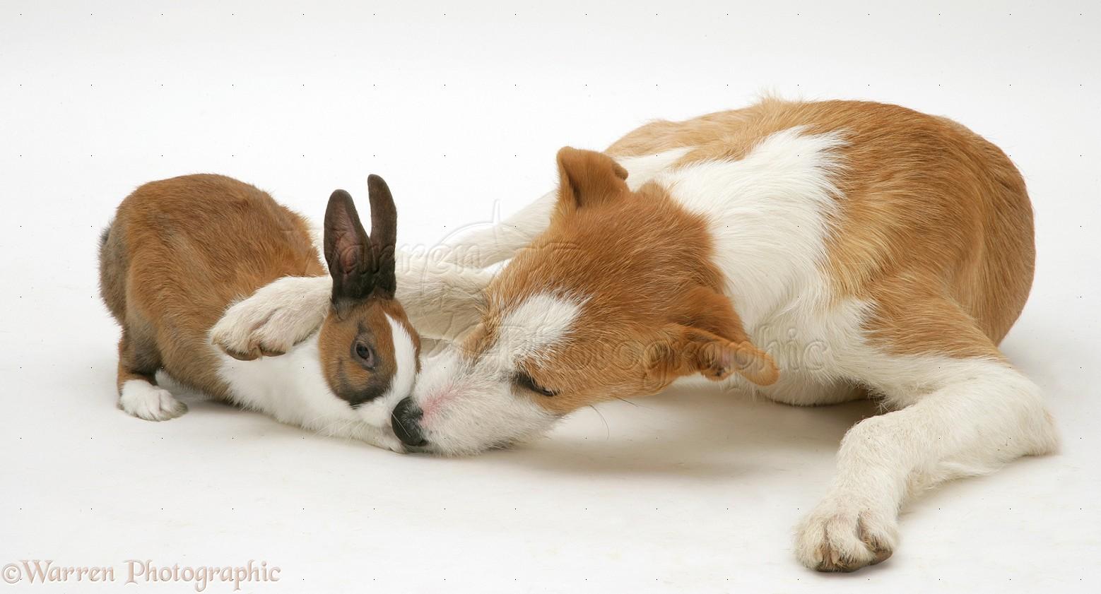 pets lurcher with fawn dutch rabbit photo   wp23493