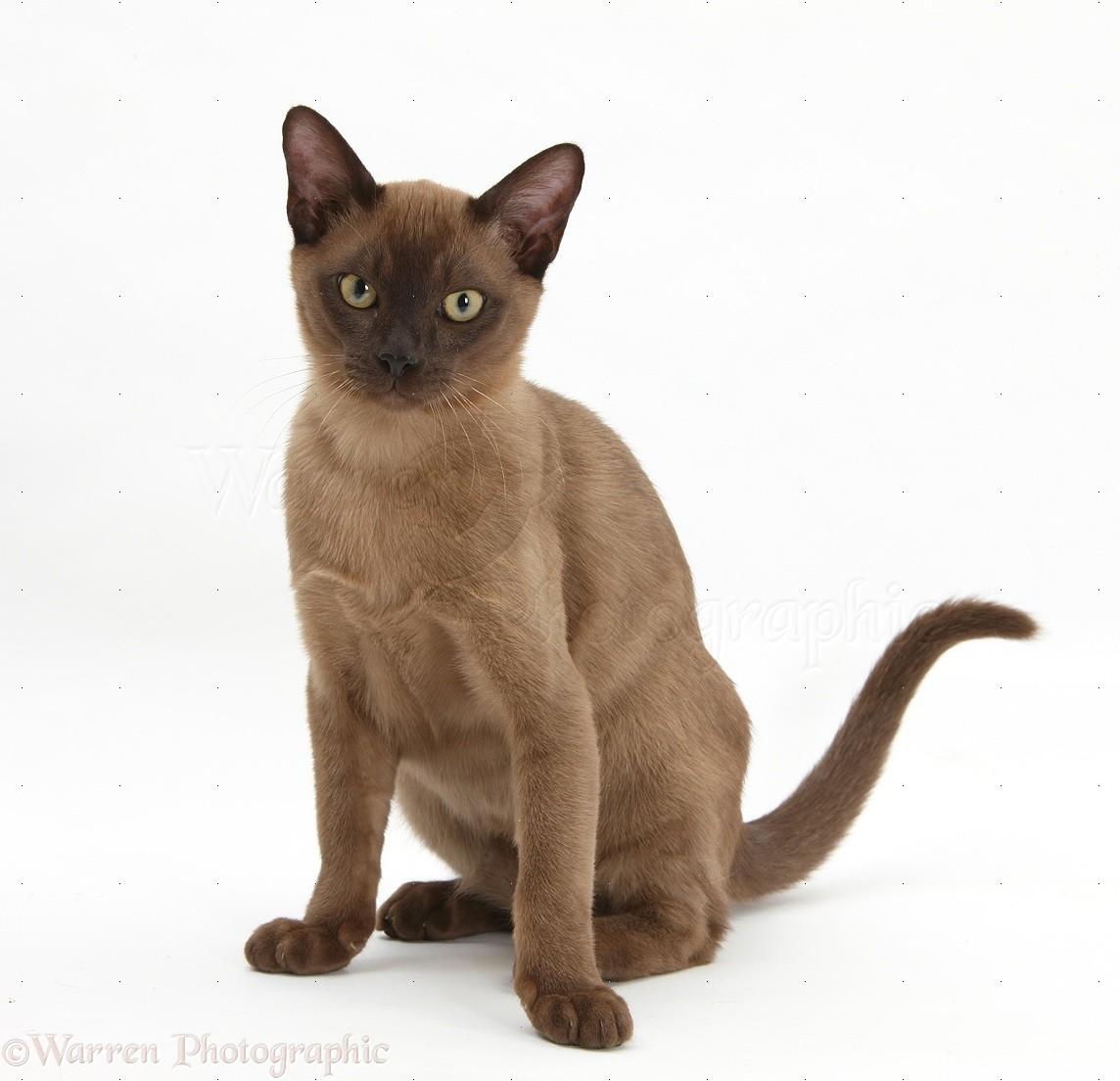 Burmese Blue Cat Images