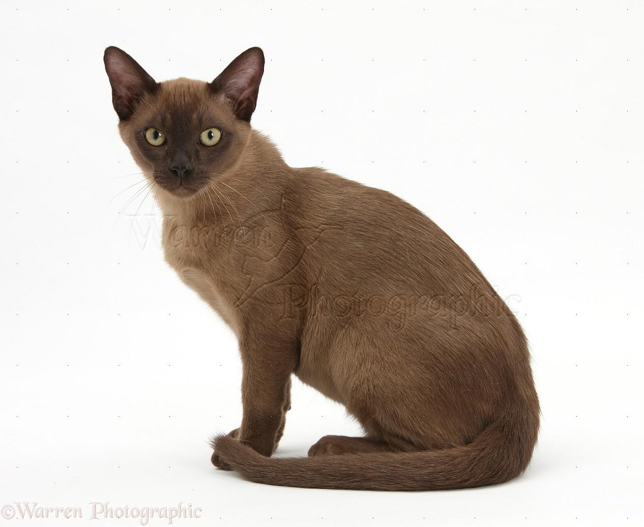 Burmese cat ornament