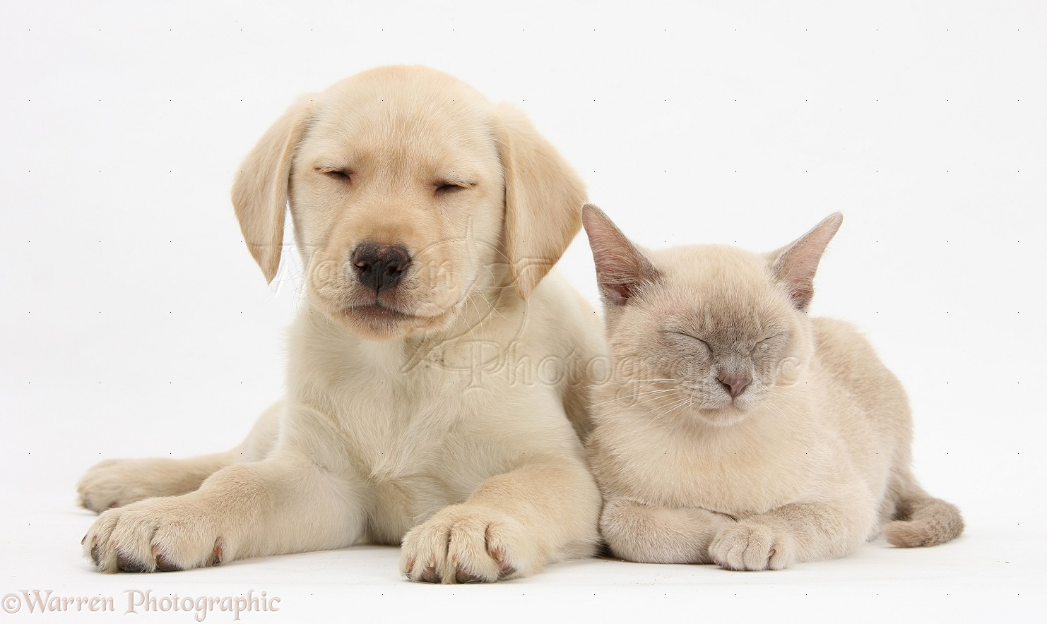 Labrador Retriever and CatWhite And Yellow Labrador Retriever