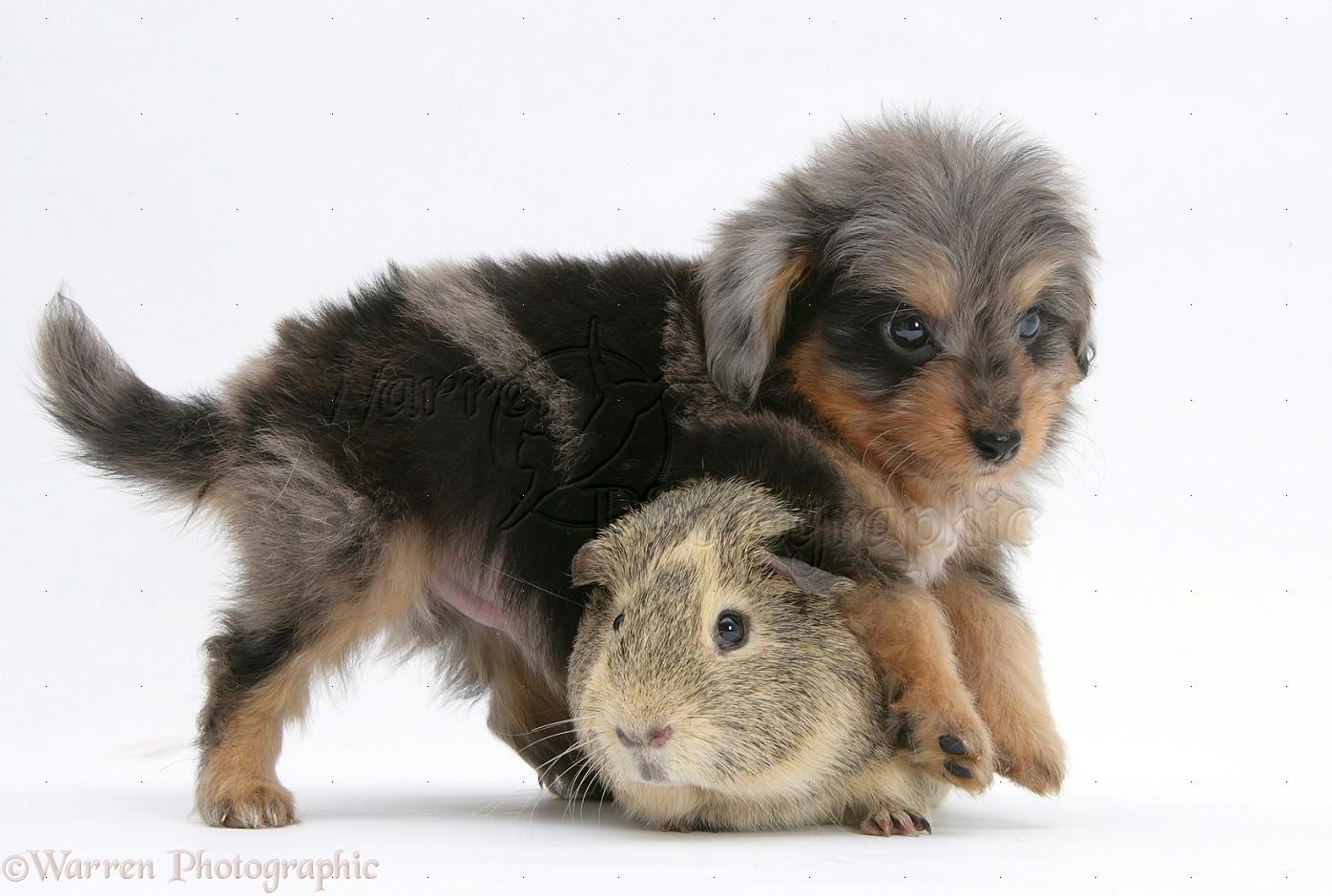 Sheltie guinea pigs - photo#14